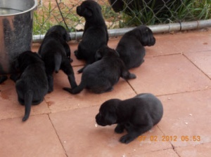 AKC Black Lab Puppies Champion Bloodlines