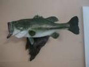 Taxidermy Bass