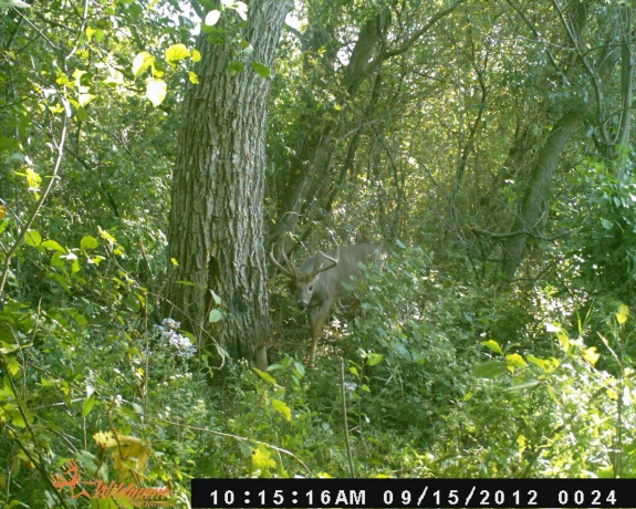 HUGE Whitetail Buck on trail cam